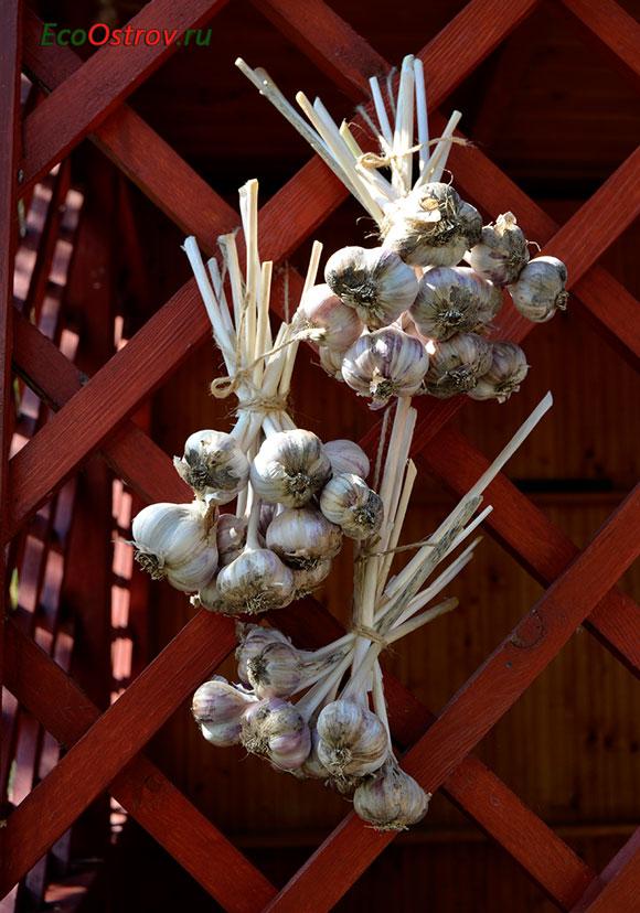 Урожай озимого чеснока, посадка под зиму
