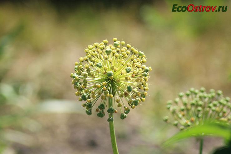 Бульбочки чеснока в соцветии для посадки