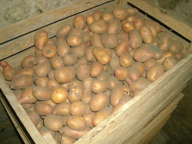 Хранение картофеля в домашних условиях зимой: в погребе, на балконе