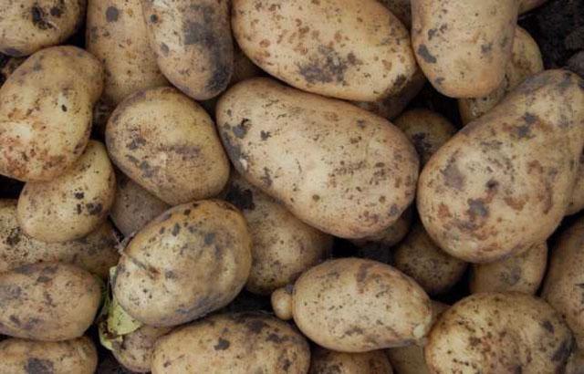 Как хранить картофель зимой: на балконе, в погребе, в домашних условиях