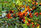 Полезные свойства облепихи: ягод и масла, рецепты