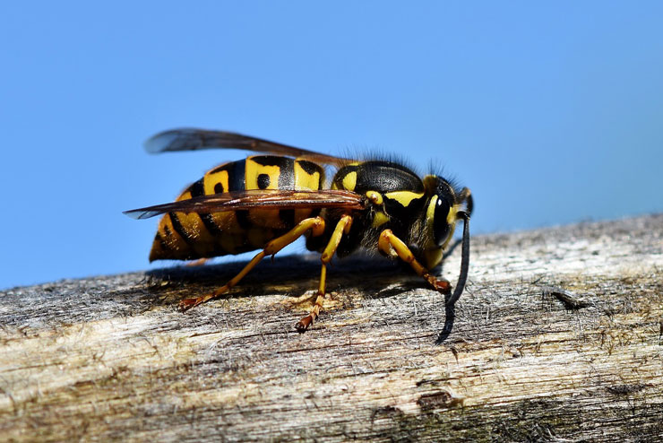 Что делать при укусе осы или пчелы