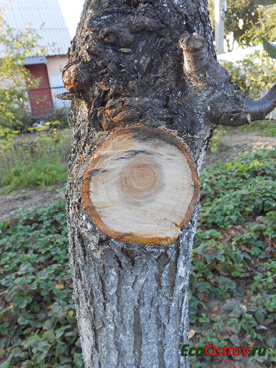 Срез дерева перед обработкой садовым варом, садовой замазкой