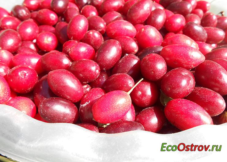 Польза кизила для организма, полезные свойства ягод