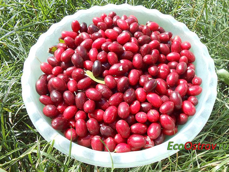 Ягоды кизила, фото урожая - полезные свойства плодов
