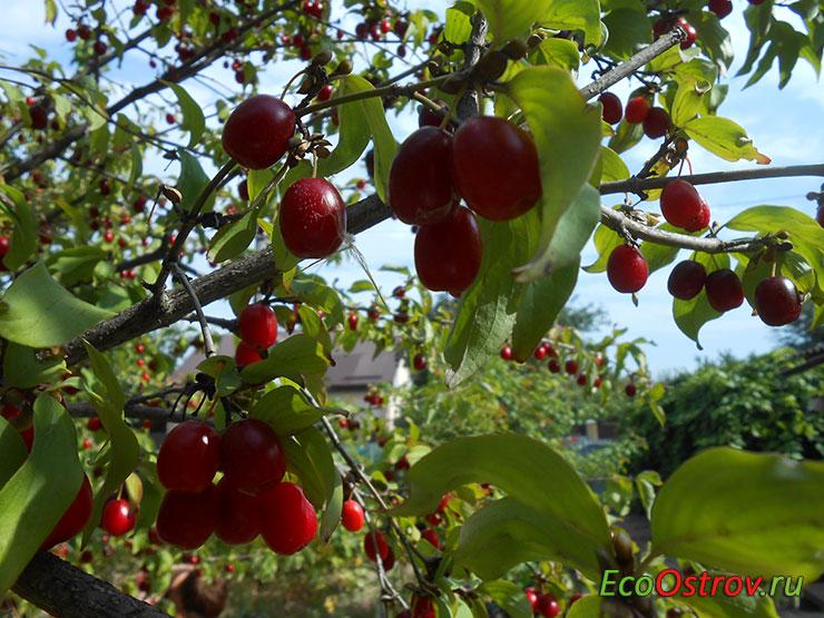 Кизил - что это за ягода, плоды на дереве