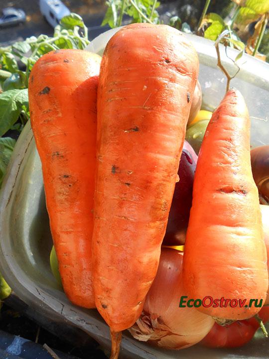 Когда убирать морковь с грядки на хранение - сроки и правила
