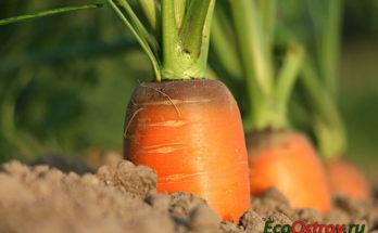 Морковь на грядке - когда лучше убирать урожай