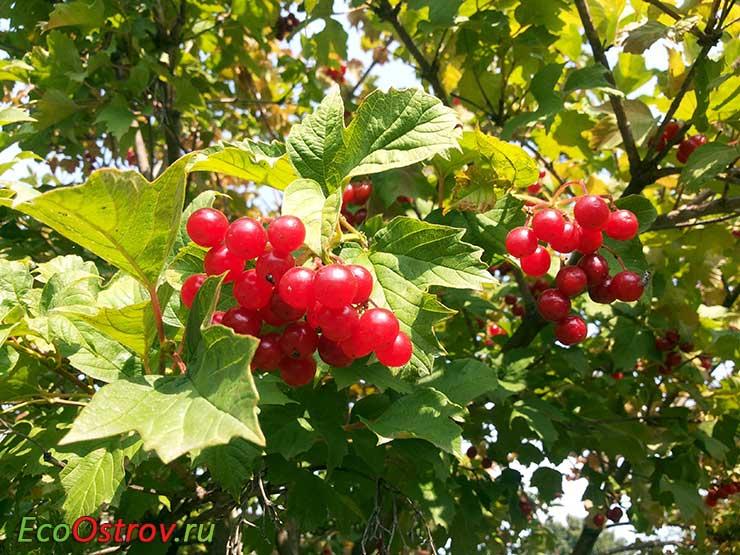 Калина красная - полезные свойства и противопоказания ягод
