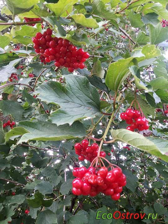 Калина красная - польза и вред ягод, рецепты