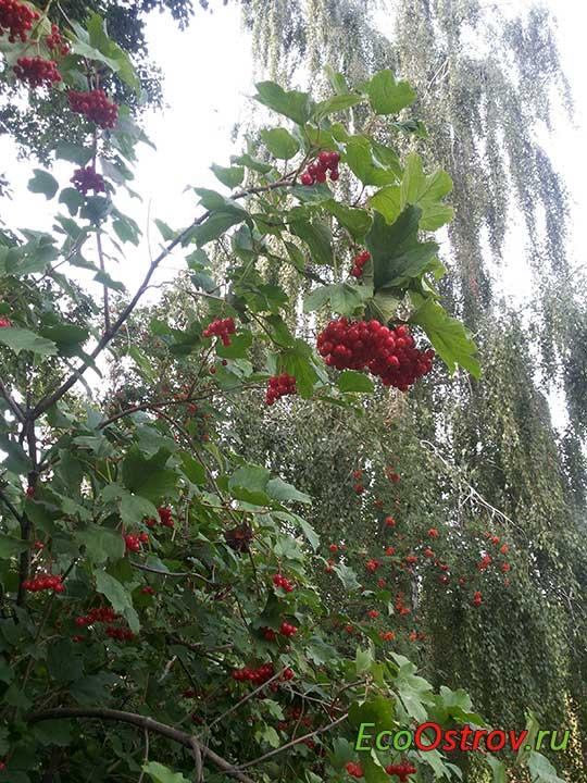 Полезные свойства калины красной, рецепты из ягод, заготовки на зиму