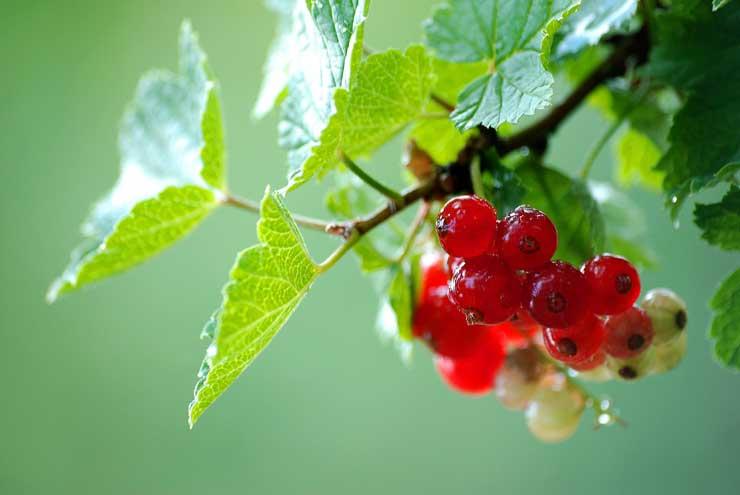 Уход за смородиной: чёрной, белой и красной, удобрения для смородины, чем обработать смородину от болезней и вредителей