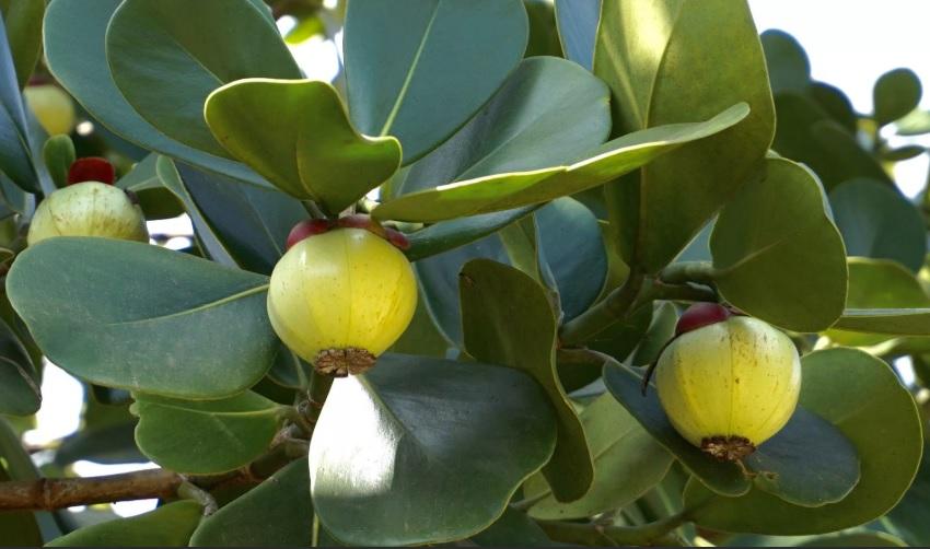 Плоды клузии после цветения, фото, уход в домашних условиях