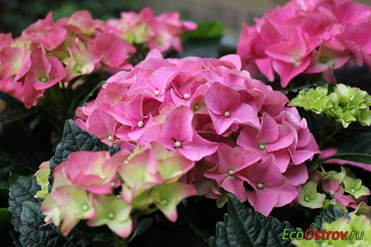 Гортензия домашняя - уход в домашних условиях, гидрангея комнатная, фото цветка