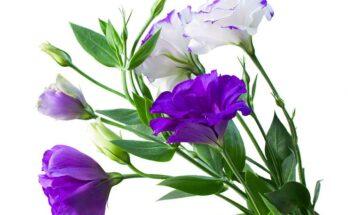 Эустома - выращивание и уход в домашних условиях