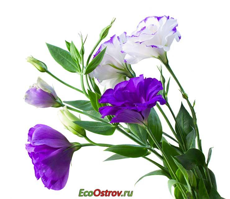 Эустома - выращивание и уход в домашних условиях, фото цветов эустома, лизиантус, ирландская роза