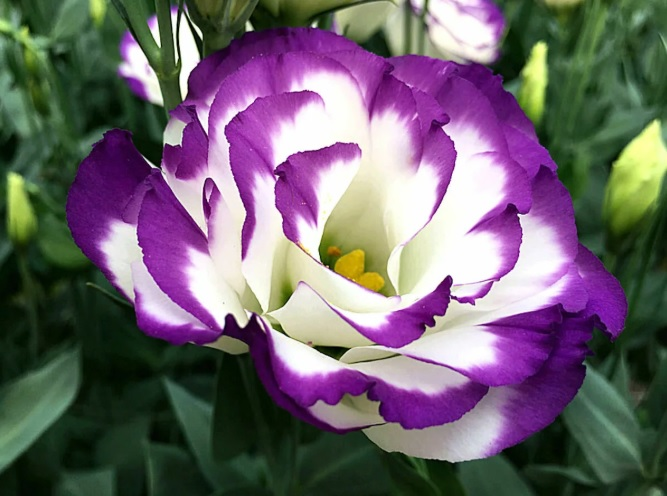 Цветы Эустома - выращивание в домашних условиях и уход за комнатным цветком