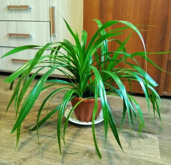Панданус - уход в домашних условиях за комнатным цветком, винтовая пальма, фото