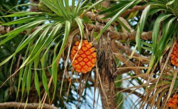 Панданус - уход в домашних условиях за винтовой пальмой