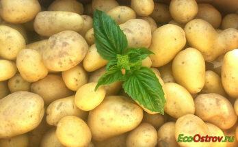 Картофельный сок - польза и вред для здоровья